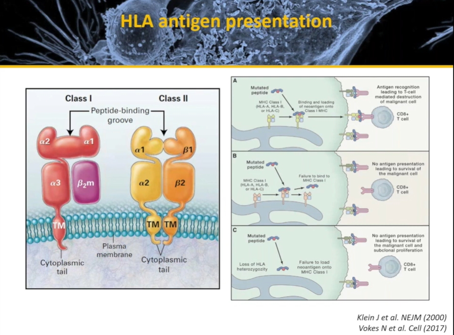 HLA Antigen Presentation