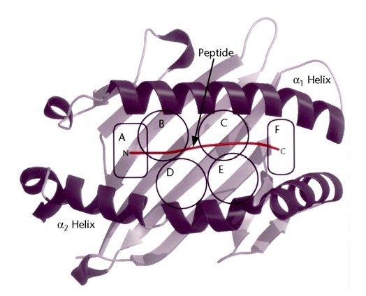 Figure 2. Six pockets defined in the peptide-binding cleft of MHC class I molecules (4).